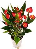 ANTHURIUM ROSSO MILLION FLOWERS VERSIONE NATALIZIA IN VASO CERAMICA ARGENTO, pianta vera
