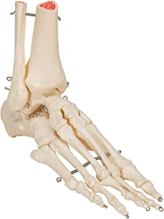 3B Scientific A31/1L Human Left Loose Foot and Ankle Skeleton