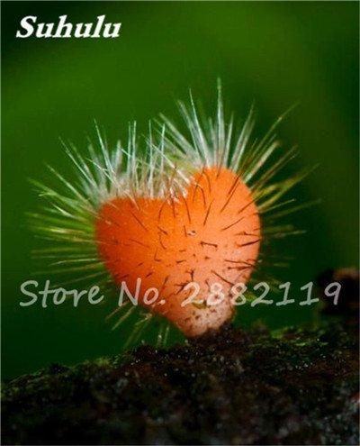 Nouveaux 80 Pcs champignons rares Graines Succulent Plant, Godsend cadeaux, Ornement Pot, jardin Fournitures de bonsaïs d'intérieur pour Happy Farm 1