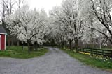 Tree-Plants Bradford Pear, Pyrus calleryana, (Callery Pear) Tree 30 ct by Authentic Reborn Garden & Yard