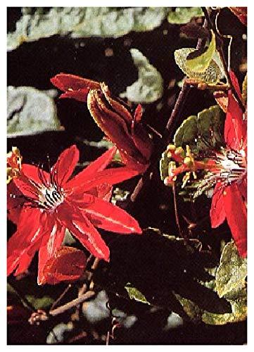 TROPICA - Passiflore écarlate (Passiflora coccinea.) - 5 graines- Plantes grimpantes