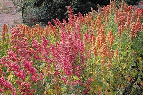 seedsown Keimfutter PLATFIRM-Chenopodium Quinoa Pflanzen Samen- Regenbogen -Hot, Rosa, Rot, Orange, Gelb Weiß Grün