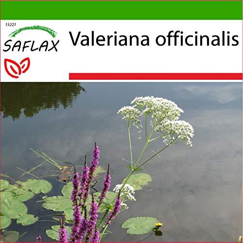 SAFLAX - Valeriana - 200 semillas - Con sustrato estéril para cultivo - Valeriana officinalis