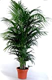 """Die schönste Zimmerpalme der Welt! Howea Forsteriana""""Kentia Palme"""" Anspruchslos von"""