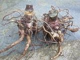 TOMHY Las Semillas del Paquete: 3 de raíz de yacón: Brotes Coronas -Ground- franqueo Gratuito