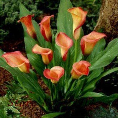 `` Hot Promotion! 100pcs parfum Lily Graines fleurs Germination 99% creepers bonsaï jardin bricolage fournitures pots planteurs