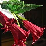 Rew Datura: Mandala Flower Brugmansia Datura Semillas Raras Semillas de flores Plantas en macetas Una variedad de colores Jardín Decoración Planta 50 piezas Y68