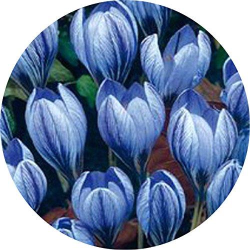 100PCS mini-bleu Graines Sago Cycas revoluta graines bonsaï semences d'arbres semences en pot de fleurs des articles de bricolage jardin ménage