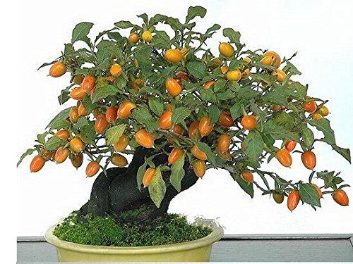 20 Persimmon Samen, Kaki, Exotische Bonsai, Schöne & Lecker Obstbaum, Obstkerne