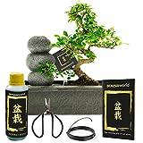 Bonsaiworld Bonsai Zen Steinen Wasserfall Set - 10 Jahre alt - Baumhöhe 30-35 cm mit Pflegeset