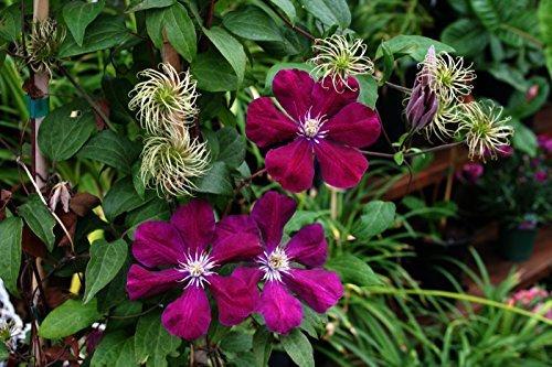 Clematis Kletterpflanzen 40-100cm topfgewachsen, verschiedene Sorten/Farben (40-60cm, Rot)