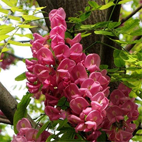 TENGGO Egrow 50 Teile/Paket Sophora Tonkinensi Baum Samen Sophora Tonkinensi Baum Pflanze Blumensamen