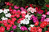 100 semi di pervinca, Vinca miscela di colori (Catharanthus roseus), semi di fiori