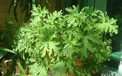 50pcs Citronella Plant Seeds Perennial Grass Mosquito Repellent Geranium Plant Mosquito Lemon Geranium Seeds