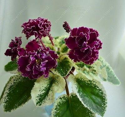 (100pcs Seeds) 100 pcs/Bag African Violet Seeds, Bonsai Flower Seeds for Home Garden Plant Perennial Herb high Budding Garden Flowers Seeds 1