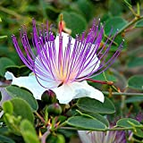 10 Semillas Capparis spinosa alcaparra planta ornamental Bush