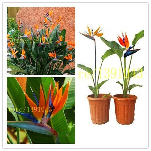 Pinkdose 2 pcs réel Strelitzia Reginae Graine Plante en pot Fleurs Oiseau de paradis de fleurs rares pour plantes de jardin à domicile