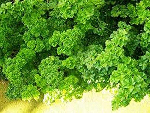 Le persil, la forêt verte Parsely semences, biologique, sans OGM, 50 graines par paquet