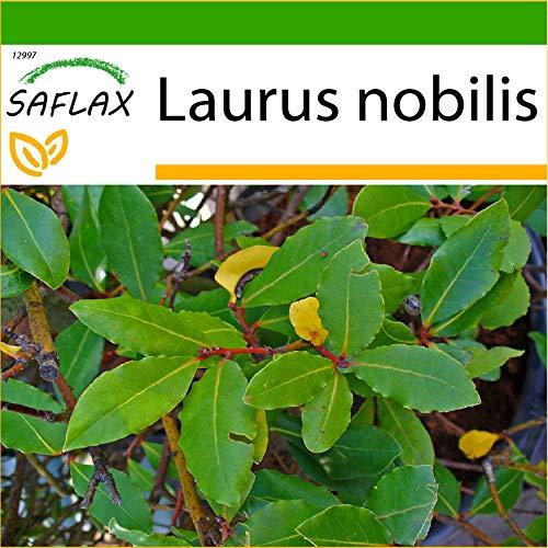 SAFLAX - Laurel de Apolo - 6 semillas - Con sustrato estéril para cultivo - Laurus nobilis