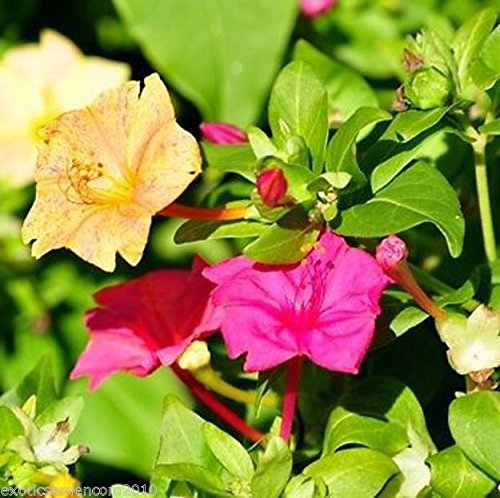 Wunderblume Mirabilis jalapa 10 Samen