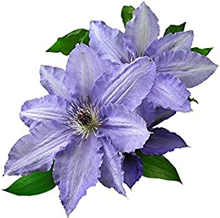 Home Comforts Out Cut Mauve Clematis Vivid Imagery Laminated Poster Print 11 x 17