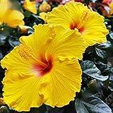 Ultrey Samenshop - 50 Stück Selten Riesen Hibiscus Samen Exotic Coral Samen Blumensamen Winterhart mehrjährig Zierpflanzen für Garten Balkon/Terrasse