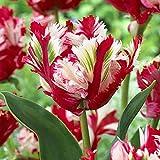Grandes bulbos de tulipán de doble pétalo importados de los Países Bajos cultivo de suelo hidropónico resistente jacinto en maceta de flores bulbosas 300-tulip_11-12CM