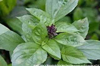 Basil, Cinnamon,Non GMO, 25 Seeds per Pack, has a Spicy, Fragrant Aroma and Flavor