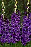 100 Bulbes de Glaïeuls'Purple Flora' - Bulbes à Fleurs/bulbes d'été - Livraison Gratuite