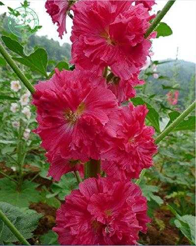 graines rouges trémière graines rares rosea Althaea bonsaïs de fleurs. en plein air fleurs de jardin à la maison, 20 pcs Rose trémière graines H63