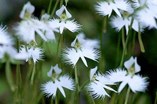 100 japonais Radiata Graines Aigrette Orchidée Graines Orchidée Rare Monde Espèce Maison Fleur Plante 10