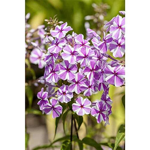 Phlox maculata 'Natascha' -...