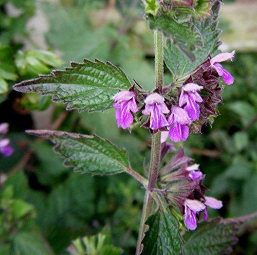 Portal Cool Ballota Nigra-Schwarznessel-Mint Familien-Rosa-Blumen-20 Fresh Seeds