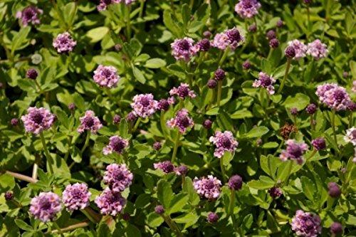 Phyla nodiflora Pink Pompon - Teppichverbene - Preis nach Stückzahl Einzelpreis