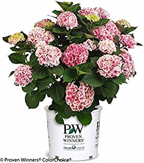 Proven Winners - Hydrangea mac. Cityline Mars (Bigleaf Hydrangea) Shrub, white flowers with pink or blue centers, #2 - Size Container