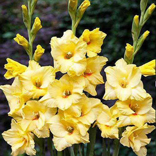Garten blumen 5x Gladiolen zwiebeln Mehrjährige winterharte pflanzen großblumige Gladiolus Amore