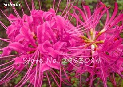 Big Sale! 100 Pcs Red Lycoris Graines Plante en pot Lycoris Radiata Graines de fleurs Plantation vivace intérieur Fleurs Bonsai Graine de plantes 23