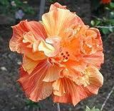 10 Semillas anaranjado doble Hibisco amarillo cena gigante Placa del jardín de flor exótica