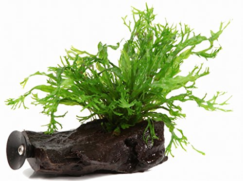 Wfw wasserflora -   Wurzel+Saugnapf mit