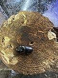 ローバオオクワガタ3令幼虫ペアその2です。