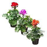 The Three Company Live Flowering 1 Quart Zonal Geranium (3 Plants Per...