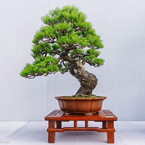 10 stücke/20 stücke Kiefer Samen Japanische Weiß Pine Samen Pinus Parviflora Grünpflanze Baum Bonsai Samen