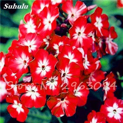 100 Pcs Nerium Oleander Flower Look Seed Tout comme les plantes Rose Fleur Bonsai jardin Arbre Quatre Saisons fleurs vivaces Easy Grow 2
