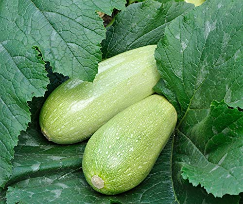 Bobby-Seeds Zucchinisamen Albatök Portion