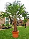 Seltene Palmen Kreuzung Trachycarpus Fortunei/Wagnerianus bis 150 cm. Frosthart bis - 18 Grad Celsius