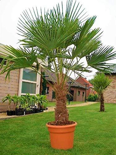 Mediterrane Hybrid Hanfpalme bis 130 cm Höhe aus Deutscher Freilandzucht. Frosthart bis - 19 Grad Indoor und Outdoor