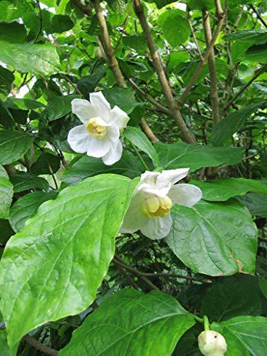 Chinesischer Gewürzstrauch Sinocalycanthus chinensis Pflanze 55-60cm Rarität
