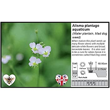Water Plantain, Mad Dog Weed Marginal Pond Plant//Alisma plantago aquaticum 1LTR