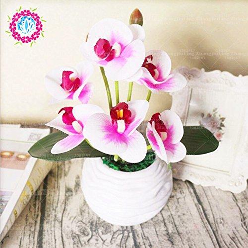 50 pcs Iris graines, graines de bonsaï fleurs vivaces de jardin, magnifiques fleurs coupées graines rares de fleurs pour la plantation jardin maison orchidées 1