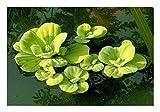 *ZAC Wagner 10 Stück Muschelblumen (Pistia stratiotes) - Schwimmpflanze Teichpflanzen Teichpflanze